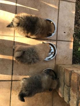 Toypom Puppies 3 Males