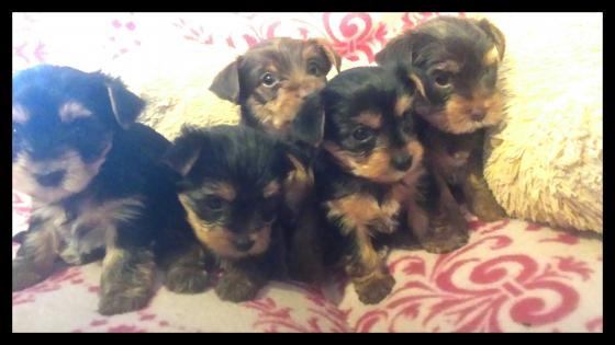 Yorkie puppys