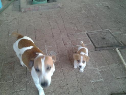 Jack Russell CanineSA registreerde kort bene wit en bruin kleintjies R1999