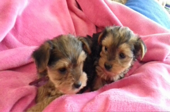 Yorkie babas
