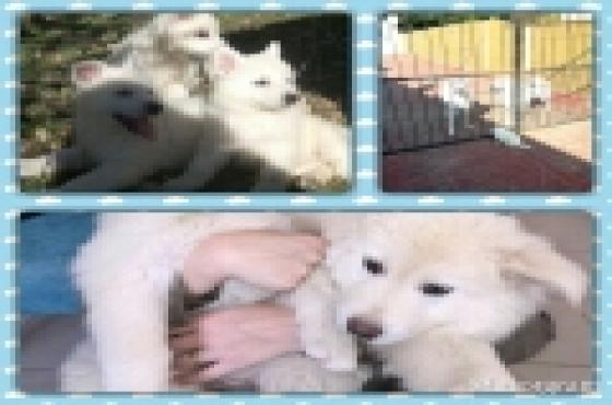 swiss shepherd puppies