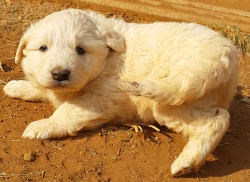 Pyrenean mountain puppies for sale
