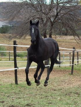 Stunning black tb gelding