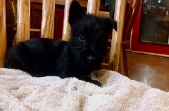 Scottish Terrier Puppies(9 Weeks)old.