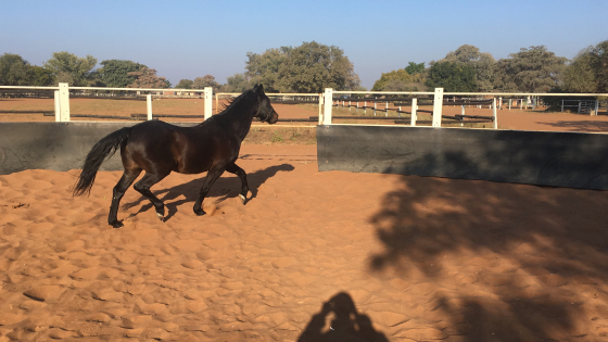Boerperd gelding and mare for sale