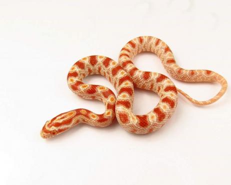 Albino Corn Snake babies