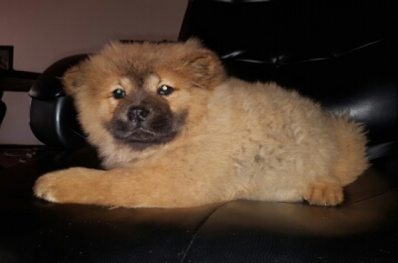 Chinese Chow Chow Puppy girl