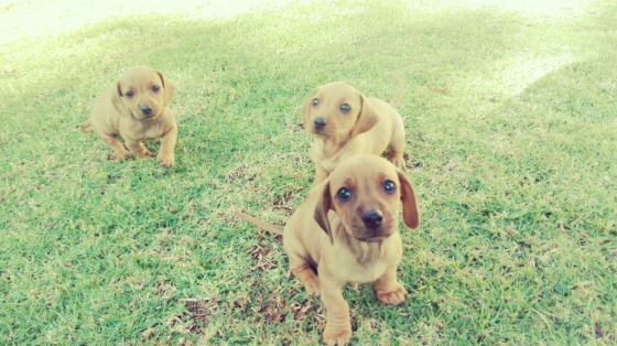 Minature dachshund puppies
