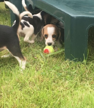 lovely tri colour beagle puppies for sale