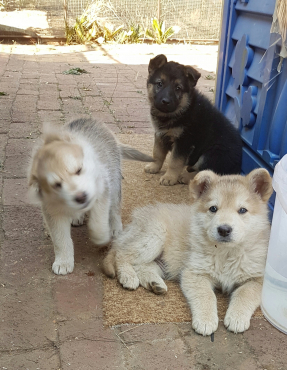 Pure breed Alsation puppies for sale