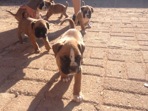 Pure Breed Boxer Puppies