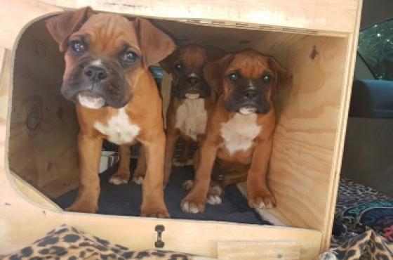 Big Built BOXER puppies