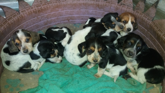 Beagle Hound Puppies
