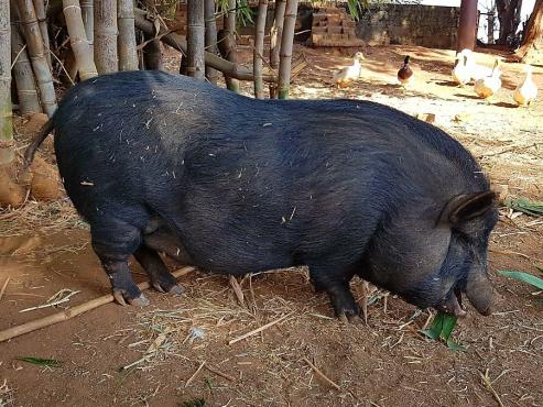 Vietnamese potbelly pigs