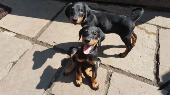 Gorgeous Reg Doberman Puppies For Sale
