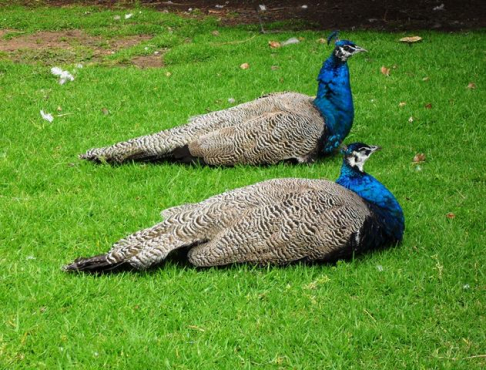 Two Young Male Peacocks