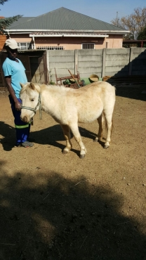 Shetlan Ponie Stallion