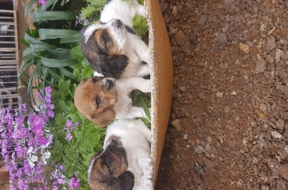 little fred basset pups