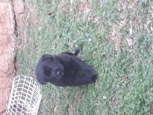 Labradore/germenshepert puppy