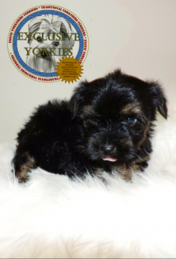 Traditional an black Yorkies for sale