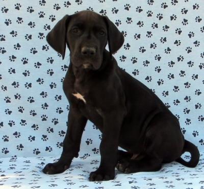 Pedigree Great Dane Puppies
