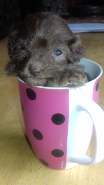 French toy poodle puppies.registered breeder.  Vaccinated dewormed and vet checked.
