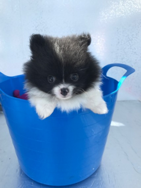 True Type Pom Puppies