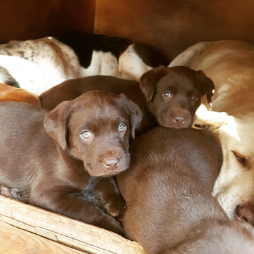 Purebred Chocolate Labrador Puppies