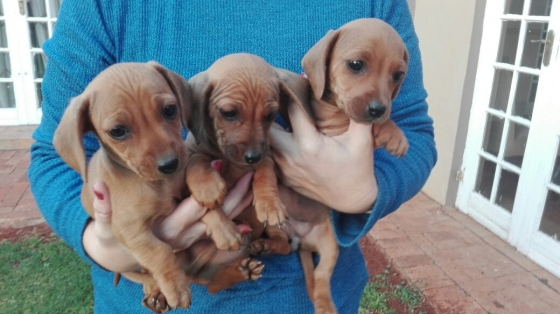 Miniture dachshund puppies