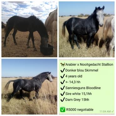 Endurance Horse, perd, hings, stallion