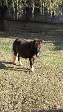 Stunning Mini Stallion