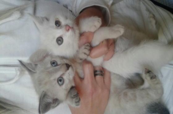 siamese ragdoll kittens
