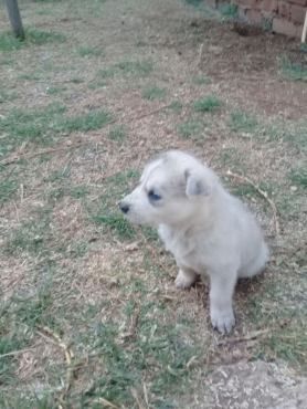 Siberian X German Shepherd Pups