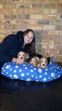 KUSA REGISTERED Beagle pups