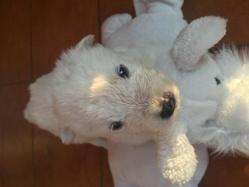 Purebred Siberian Husky`s