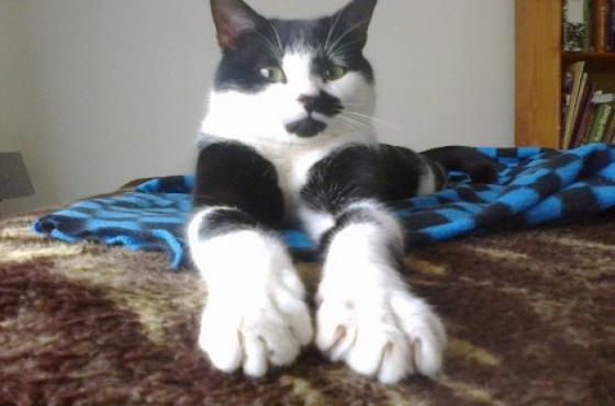 Pompeii the fearless Tuxedo cat