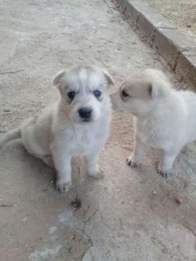 German Shepherd/Siberian puppies