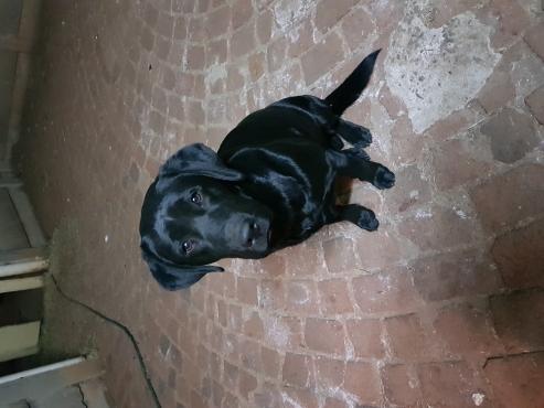Labrador Black for sale