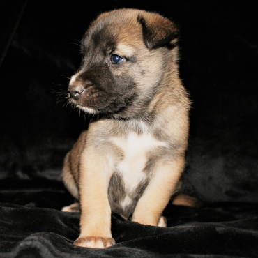 Mailinois x Husky Pups  ready 2 September only R1800