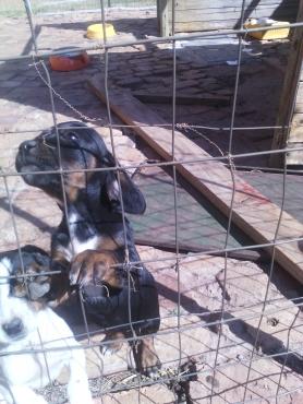 dobermans puppies