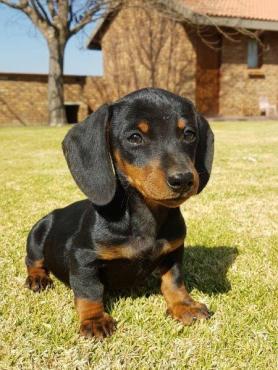 Miniature Dachshund Puppies! Worshondjies/worsies