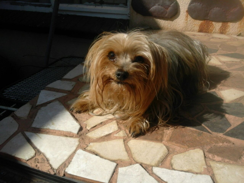 Yorkshire Terrier Male Puppy