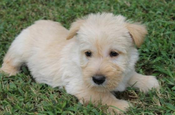 9 weeks - Scottish Terrier Puppies