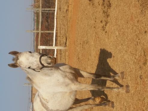 Sally Can Dance  arabian mare
