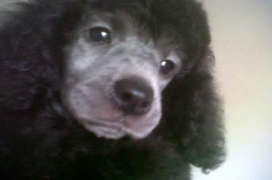 Kusa reg Miniture French Poodle Puppies