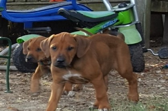 9 weeks Rhodesian Ridgeback Puppies