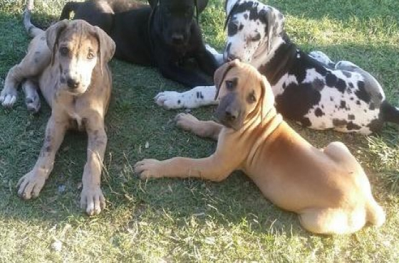 Microchipped Great Dane Puppies