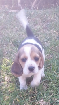 Beagle puppies for sale.