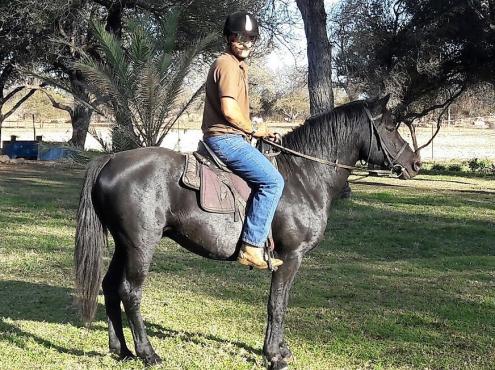 Friesian X stallion for sale