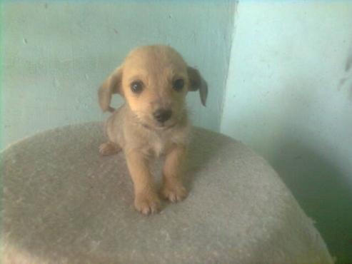 Miniature Yorkie x Miniature Pincher pups